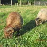 Woollyboogers Icelandic Sheep