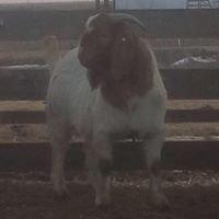 Dean's Boer Goats