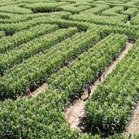 Bergmann Corn Maze