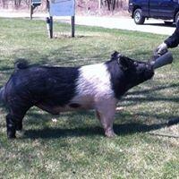 Rebottaro Wilson Show Pigs