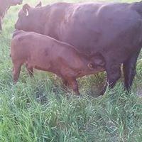 Kitley Beef Farm