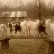 Harmony Goats