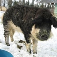 Lemhi Wooly Pigs - Mangalitsa