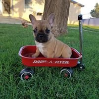 Harlie's Ride French Bulldogs