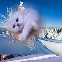 Silver Angel kennel csincsilla perzsa  (Chinchilla persian cat)