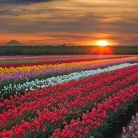 Wooden Shoe Tulip Farm in Woodburn