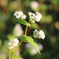 Karri Hill Buckwheat