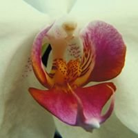 Cape & Islands Orchid Society