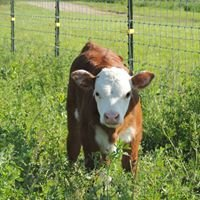 EZ Farms - Miniature Herefords