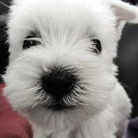 Xaren's Miniature Schnauzer Puppies