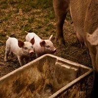 High Country Free Range Pork