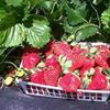 The Strawberry Patch (formerly Yerkes Strawberry Farm)
