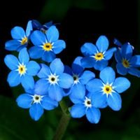 Forget-me-Not Floral Designs