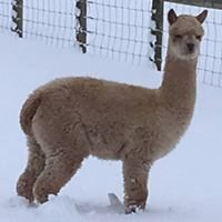 Latton Alpacas