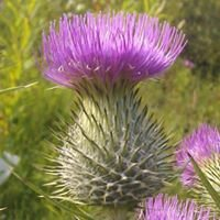 Thistle do nicely
