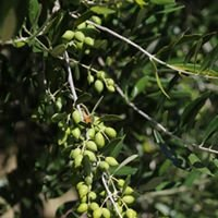 Esk Valley Olives and Oils New Zealand