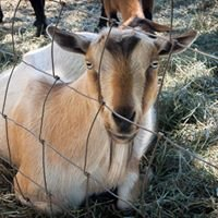 Rainey Valley Farm Nigerian Dwarf Goats & Grass Seed Crops