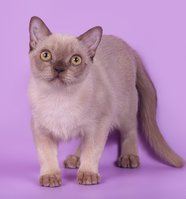 Rangpurcat - бурманская кошка