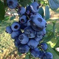 Olde drive blueberry farm