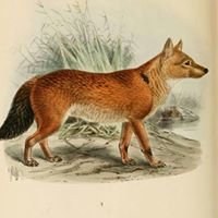 Vintage Red Fox