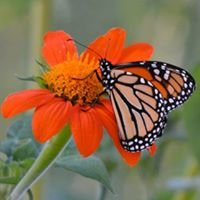 Monarch Waystation #1427