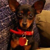 Tiny Terrors Min Pin & Dachshund Rescue