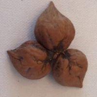 Heartnut Forest