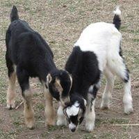 Triple AJ Dairy Goats