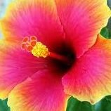 Hibiscus Wellness