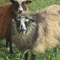 Joshua Farm Shetland Sheep