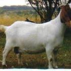 JRCN Boer Goats