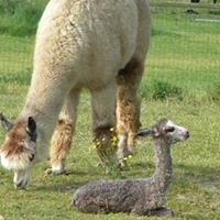 Kellogg's Alpacas