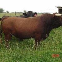 Whistle R Dexter Cattle