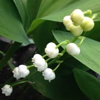 Lily of the Valley Esthetics