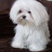 Petite Paws Maltese / Owner,             Kristy Humphries