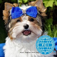 Hodowla Biewer Yorkshire Terrier Zkwp Royal Puppies From Poland