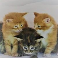 Florida Maine Coons by OptiCoons