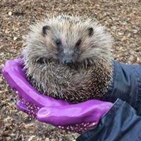Pricklebums Hedgehog Rescue
