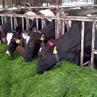 Crichton Royal Farm Dumfries- Dairy Centre