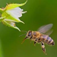 World Bee Day / Svetovni dan čebel