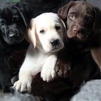 Barefoot Labradors