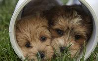 Three Rivers Havanese Puppies