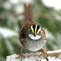 Downeast Audubon