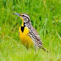 Meadowlark Audubon