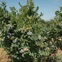 Rancho Azul Blueberries