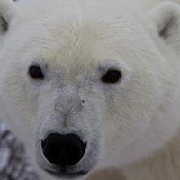 Polar Bear Ecology by Great Bear Foundation