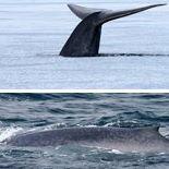 Projekt Blåhval - Project Blue whale