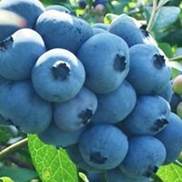 Burdick Blueberries