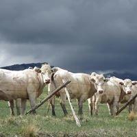 Cobb Charolais Ranch