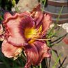 Tester Dairy Farm And Daylilies